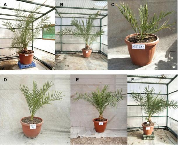 Germinated ancient Judean date seedlings. Ages in months at time of photograph (A to C) Adam (110 months), Jonah (63 months), and Uriel (54 months). (D to F) Boaz (54 months), Judith (47 months), and Hannah (88 months). (Guy Eisner / Sciencemag)