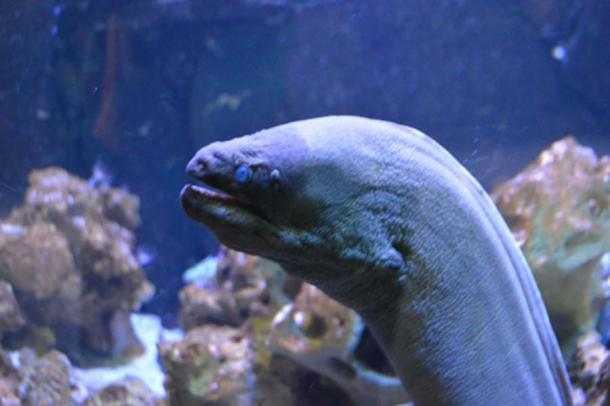 Giant eels can reach up to 3 meters (9 ft 10 in) in length and have a maximum weight of roughly 110 kg (240 lb). Credit: Estefania / Adobe Stock