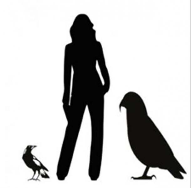 Graphic showing the Heracles inexpectatus silhouette next to an average height woman and common magpie. (Image: Professor Paul Scofield, Canterbury Museum, Christchurch / Flinders University)