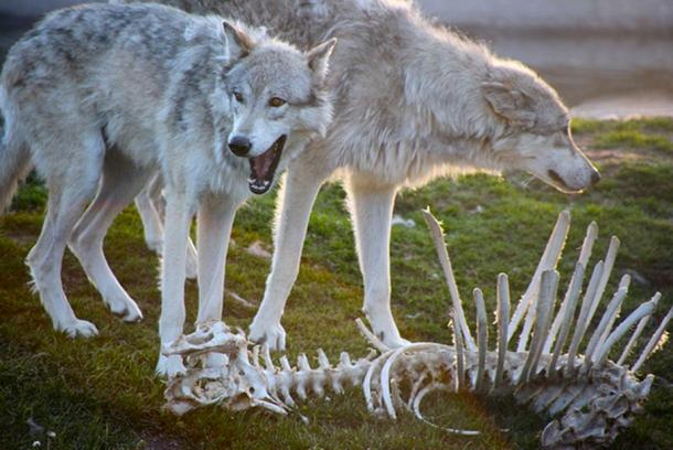 Gray wolves by a stripped animal carcass