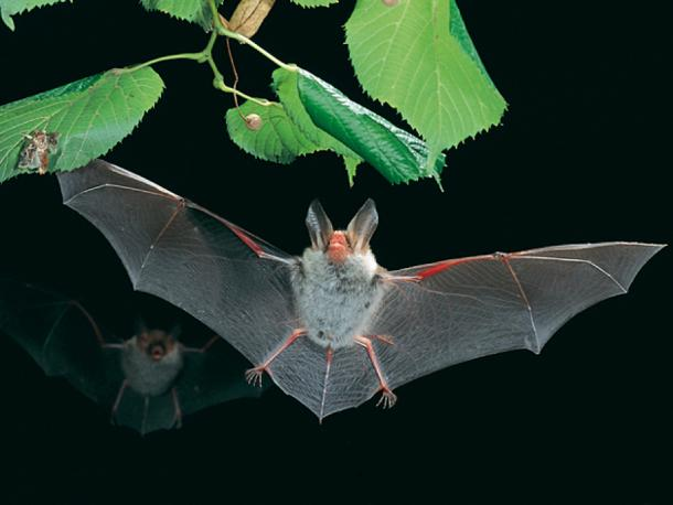 Hambach Forest's rare Bechstein's bat population is threatened. (CC BY-SA 2.5)