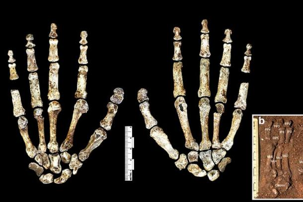 """The hands of the """"Homo Naledi"""" have very modern and very similar anatomical characteristics to contemporary humans."""