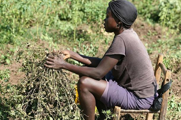 Harvesting Peanuts, also called Groundnuts.