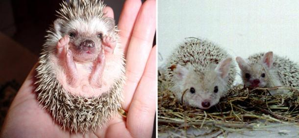 [Right] A Desert Hedgehog cub (Paraechinus aethopicus) curled up in a man's hand. [Left] Hernicus auritius, long-eared hedgehog, in captivity in Leningrad Zoo.