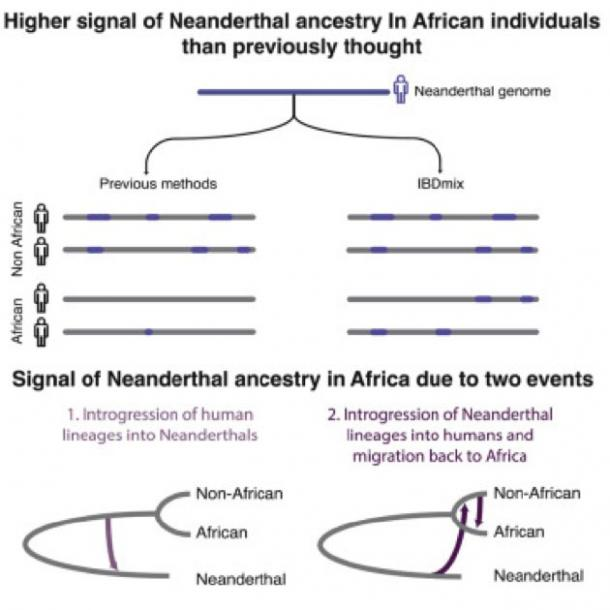 Higher signal of Neanderthal ancestry in African individuals than previously thought has been found. ( Image: Lu Chen et al. / Cell)