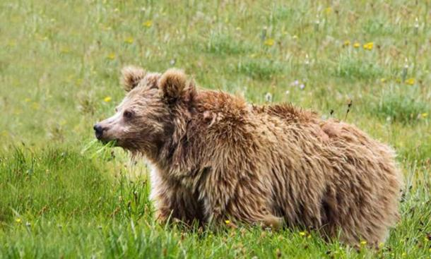 Himalayan brown bear from Deosai National Park, Pakistan. A new study ties DNA from purported Yetis to Asian bears, including Himalayan brown bears