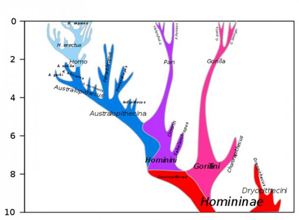 Hominini/Homininae phylogeny, 10 Mya to present. (Dbachmann / CC BY-SA 4.0)
