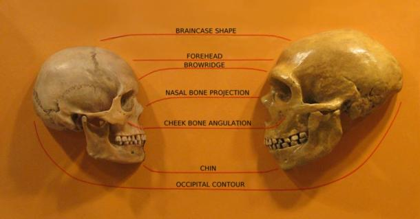 A comparison of Homo Sapiens, left, and Sapiens Neanderthal skulls from Cleveland Museum