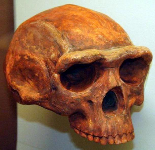 Homo erectus skull, Museum of Natural History, Ann Arbor, Michigan, USA.