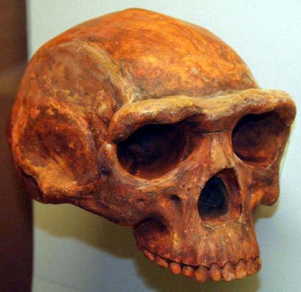 Homo erectus, Museum of Natural History, Ann Arbor, Michigan, November 2007.