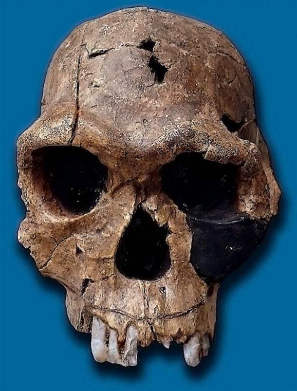 The capacity of Homo habilis skulls (above) averaged 640 cubic centimeters. Adult human skulls average 1130 cubic cm. Researchers said Homo habilis may have been using tools in Sterkfontein Cave about 2 million years ago.