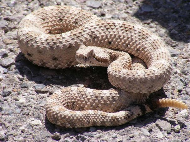 Horned rattlesnake. At Mesquite Springs Campground, Death Valley National Park, California