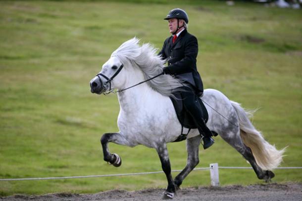 An Icelandic gaited horse