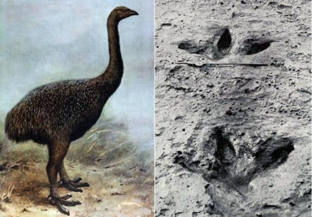 Left: Illustration of a Moa. Right: Preserved footprint of a Moa (public domain)