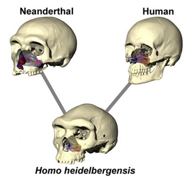 Image illustrates the difference in skull and nose shape in the three human species tested. Airflow is color-coded for temperature (warmer colors = warmer air, cooler colors = colder air). Lines indicate that Neanderthal and modern-humans likely diverged from an ancestor very close to Homo heidelbergensis. Image: University of New England, Armidale, New South Wales.