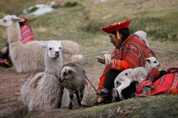 Indigenous Andean inhabitant with llamas and lambs