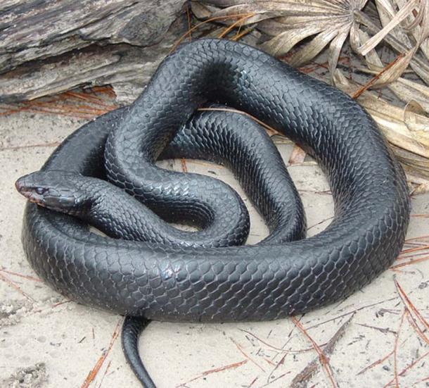 Indigo Snake