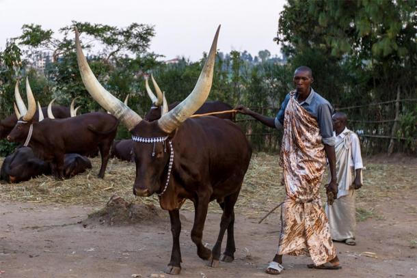 The traditional Inyambo cattle of Rwanda (Visit Rwanda)