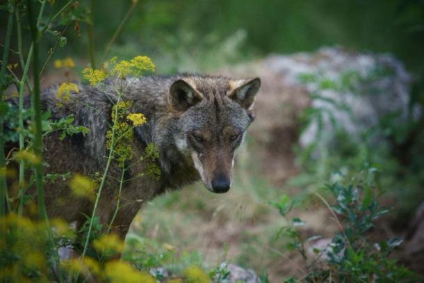 Italian Wolf in Abruzzo National Park, Italy. (alex / Adobe Stock)