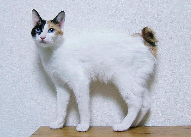 Blue-eyed female Japanese bobtail cat.