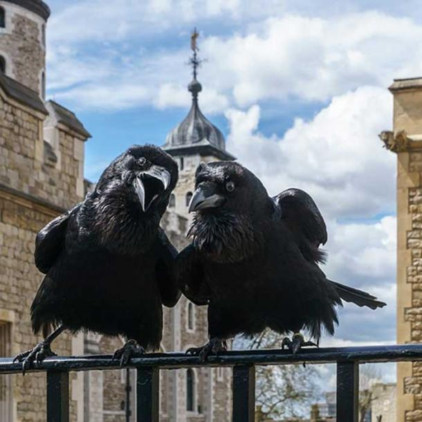 Jubilee and Munin, Ravens of the Tower of London.