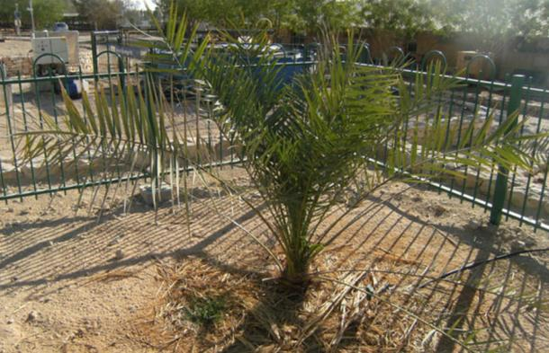 The only specimen of a Judean Date Palm. Kibbutz Ketura, Israel. It was germinated in 2005 from a 2000 year-old seed found in the archaeological excavations, and is nicknamed 'Methuselah'.
