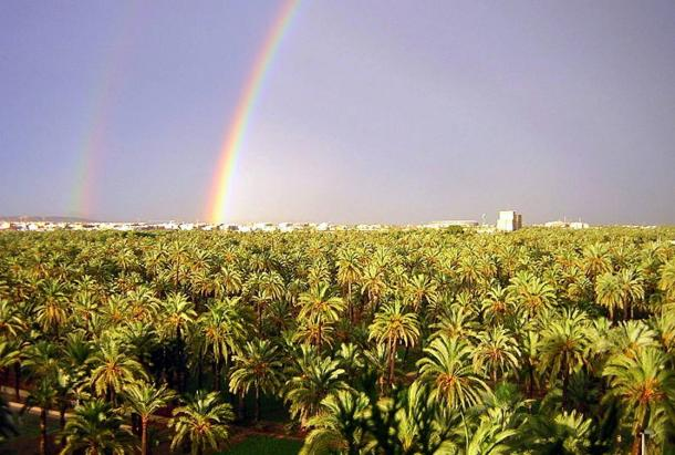 Solowey hopes to one day have a whole grove of Judean date palms like this grove of date palms of another species pictured in Spain