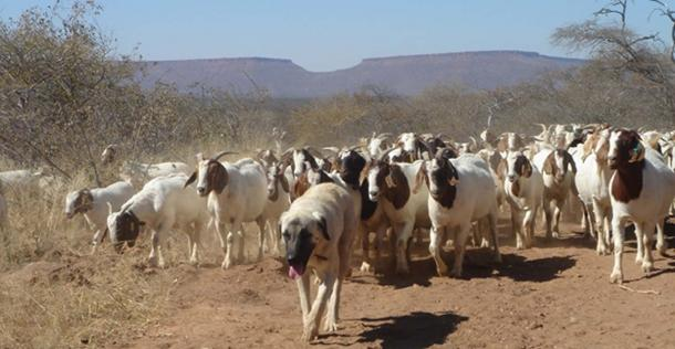Kangal Shepherd Dog and flock of goats in Namibia. (CC BY-SA 3.0)