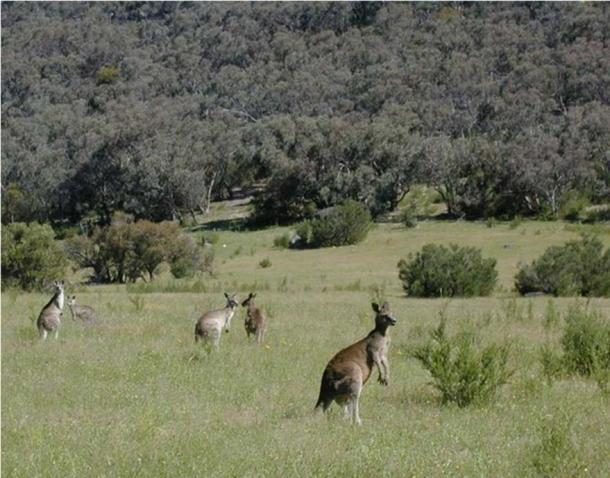 Kangaroos in a pasture. (Public Domain)
