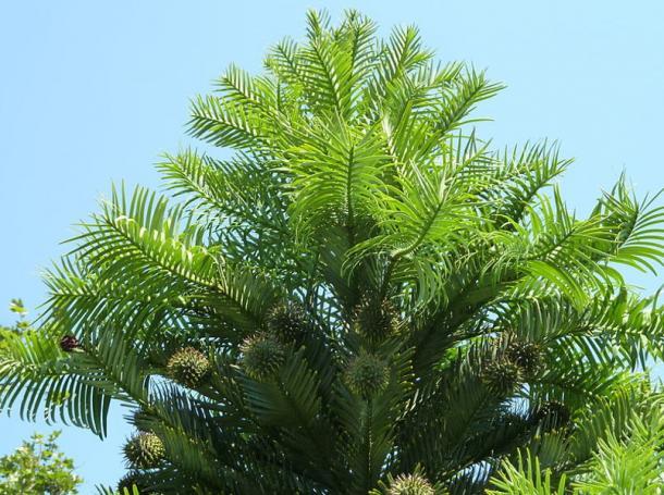 Kew Gardens Wollemi Pine (Wollemia nobilis), London.
