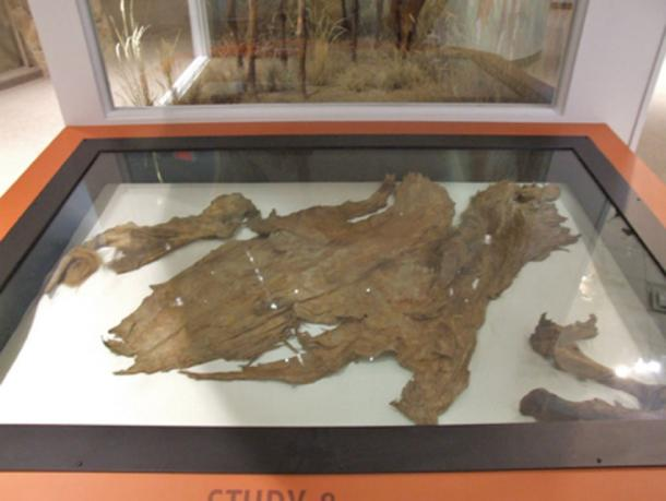 In 1993, Sam Olynyk, Lee Olynyk and Ron Toewes found at Last Chance Creek, near Dawson City the then most complete and best-preserved specimen of a mummified extinct animal in Canada, the Equus lambei or Yukon horse. (CC BY-NC 2.0)
