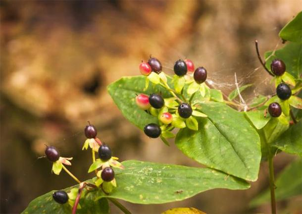 Leaves and berries of the Deadly Nightshade plant, Atropa belladonna. (espy3008 /Adobe Stock)