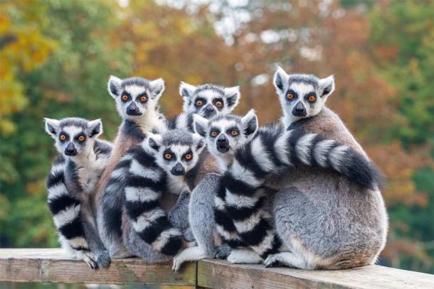 Lemurs of Madagascar ( ptashkan/ Adobe Stock)