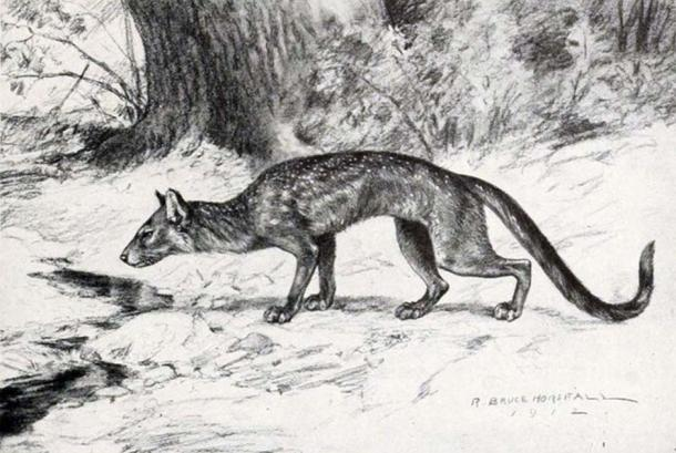 Life restoration of Hesperocyon (formerly Cynodictis) gregarius from W.B. Scott's 'A History of Land Mammals in the Western Hemisphere'