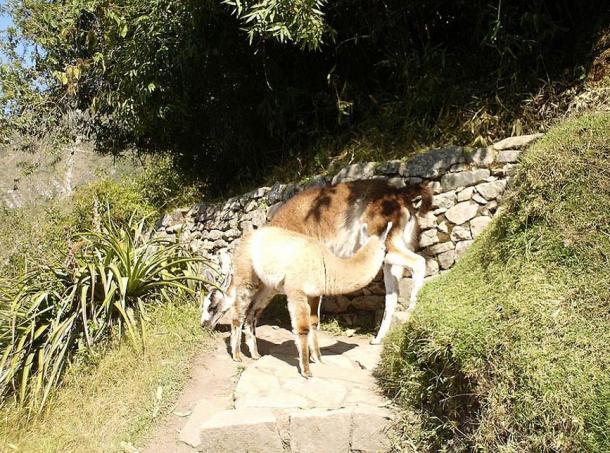 Llamas on an Incan road.