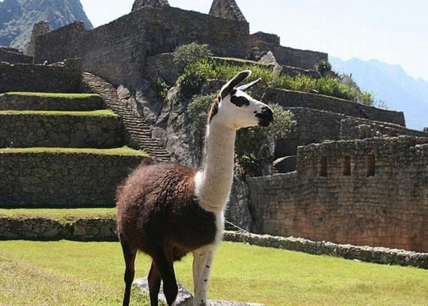 Llamas played an important role in both Moche and Inca economies. (Pixabay License)
