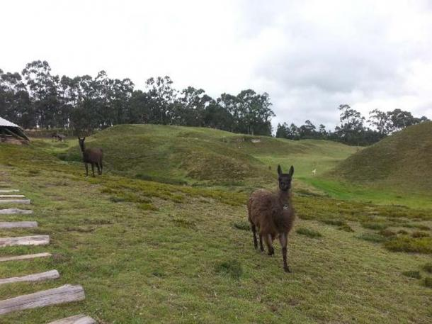 Llamas, alpacas, and guarisos are today protected species at the archaeological site. (Alicia McDermott)