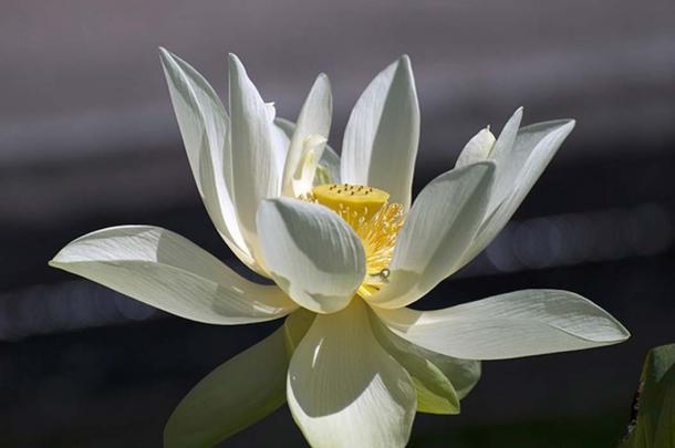 Lotus water flower