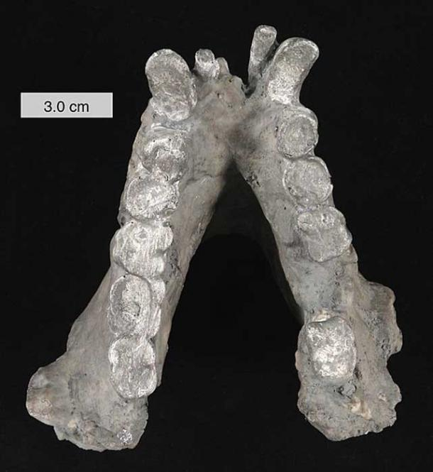Lower mandible of Gigantopithecus blacki (cast). In the collections of The College of Wooster, Ohio.