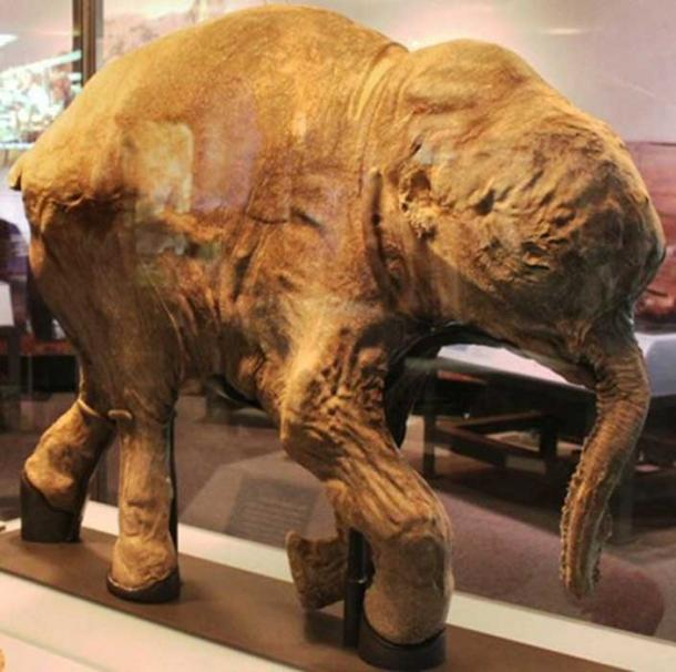 Lyuba, a mummified woolly mammoth calf in Chicago. American researchers are studying to bring mammoths back to life. (Chiswick Chap / CC BY-SA 2.0)