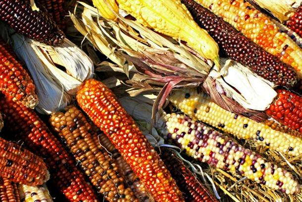 Maize in many diverse colors.