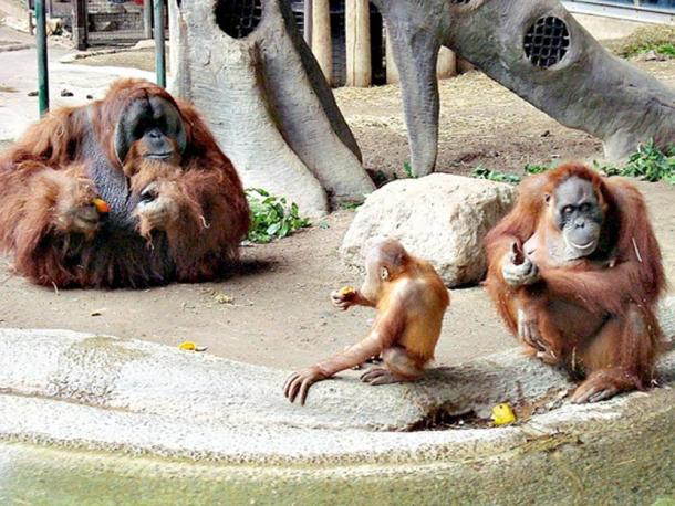 Male orangutans are not monogamous, and compete for mating with different females. In the picture, a male, female, and child Sumatran orangutans