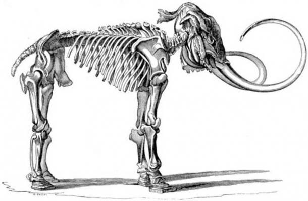 Illustration of a Mammuthus primigenius (Adams Mammoth) skeleton found with head integument and skin of the feet preserved.