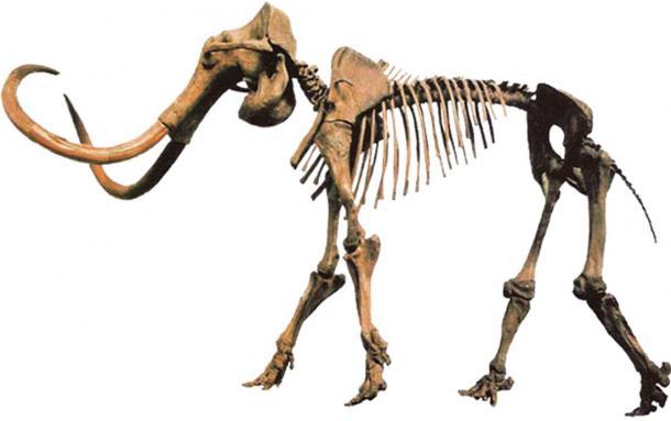 "Mammuthus primigenius ""Hebior Mammoth specimen"" bearing tool/butcher marks."