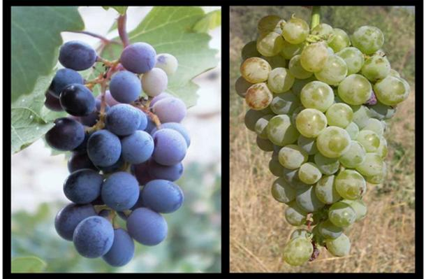 On Left - Mavro grapes used in the production of Commandaria. On Right - Xynisteri grapes used in the production of the wine also called Commanderia and Coumadarka. (CC BY-SA 3.0 / CC BY-SA 2.5)