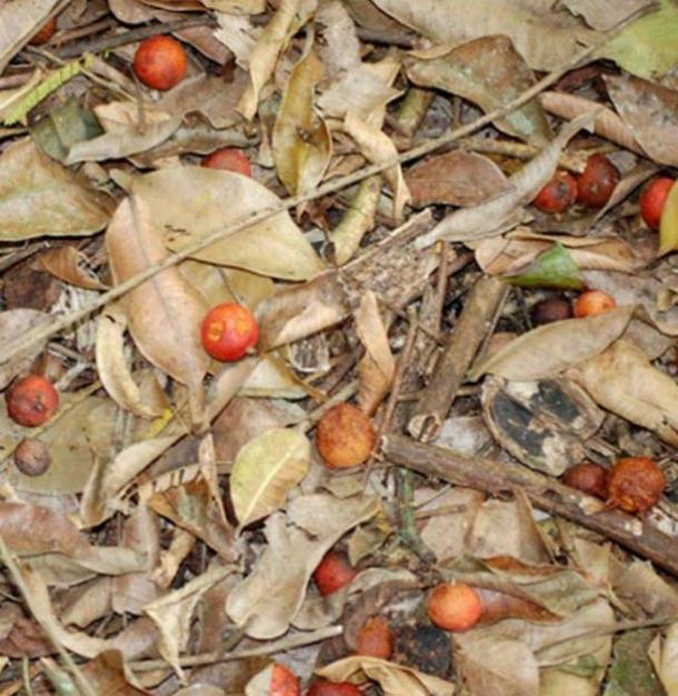 Maya nut or Ramon nut on the forest floor at El Pilar.