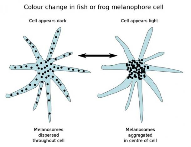Melanophores with dispersed melanosomes appear dark; with aggregated melanosomes they appear light.