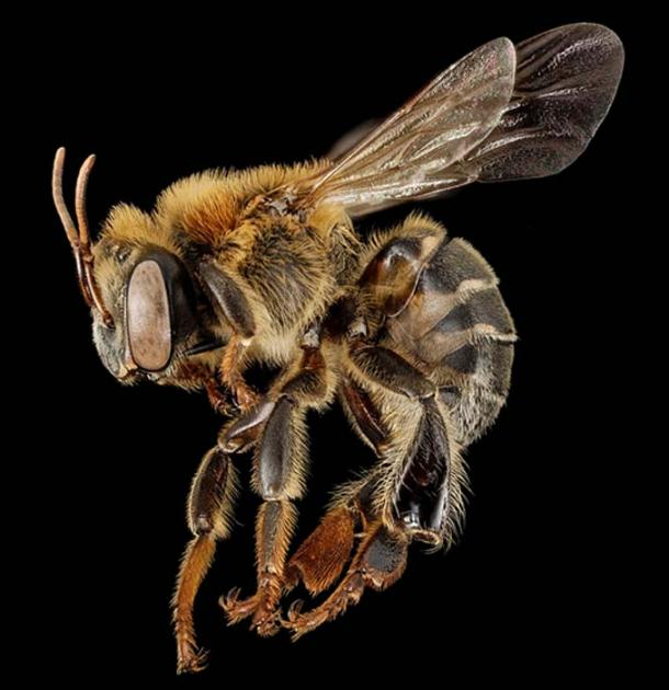 Melipona species of stingless bee, close to the Xunan kab or 'Royal Lady' of Central and South America.