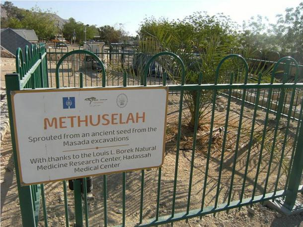 """""""Methuselah"""", the only example of a Judean Date Palm located at Kibbutz Ketura, Israel"""