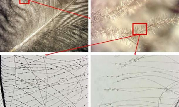 Miniscule barbules, the smallest branches of a feather, are examined under a microscope to identify the kind of bird. Here are two different birds. At bottom left is a rock ptarmigan, a type of game bird with rings around its barbules. At bottom right is a mallard with triangular growths at the ends of its barbules. Credit: Jørgen Rosvold, NTNU University Museum